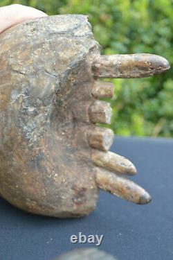 Amazing Very Rare, Big Collector Grade Pygmy Hippo/ Hippopotamus Fossil Jaw