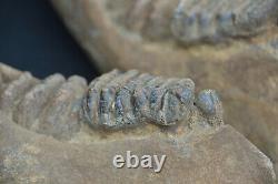 Museum grade, VERY RARE COMPLETE BABY STEGODON JAW, Pleistocene, Inodnesian